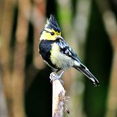 stock photo of tit  - Colorful yellow bird Yellow-cheeked Tit (Parus spilonotus) bird of Thailand