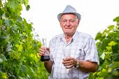 Senior winemaker with glass of wine in vineyard before harvest