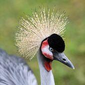 Grey Crowned Crane, Balearica Regulorum
