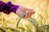 picture of caress  - Young woman wearing a colourful purple blouse gently caressing a ripening ear of wheat in a bio ecological or organic nature concept closeup of her hand - JPG