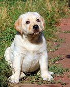 Happy Yellow Labrador Puppy Portrait In The Garden