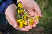 The First Spring Flowers In Children's Hands