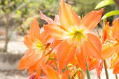 stock photo of belladonna  - the orange Lycoris Amaryllis, orange flower in garden