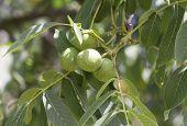 Green Walnuts On A Tree Branch