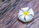 White and yellow flower, frangipani, on the wooden floor
