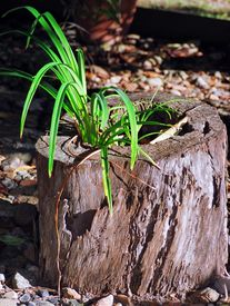 pic of hollow log  - Long thin leaf plant growing in a hollow log. ** Note: Visible grain at 100%, best at smaller sizes - JPG