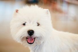 picture of westie  - White west Highland White Terrier  - JPG