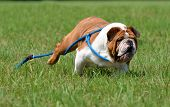 dog running - english bulldog running away with leash flying in the air
