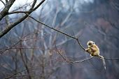 image of baby-monkey  - a baby golden monkey sit at the edge of a tree - JPG