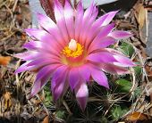 image of xeriscape  - closeup of cactus bloom - JPG