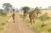 Giraffes Along The Road