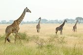 Giraffes In Serengeti