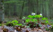 Wood-sorrel Plant Closeup Against Fuzzy Forest Stand Background