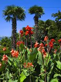 Red Cannas And Palms
