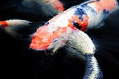 image of koi fish  - Colourful ornamental koi fish in a pond - JPG
