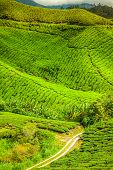 image of cameron highland  - Green tea farm in Cameron Highland Malaysia Asia - JPG