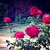 Rose Bush - Vintage Effect.