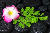 Spa Concept Of Plumeria Flower, Green Branch Adiantum Fern With Drops On Zen Basalt Stones In Water,