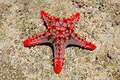 Colorful red starfish on coral rock, Zanzibar island
