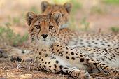 Alert cheetah (Acinonyx jubatus), Kalahari desert, South Africa