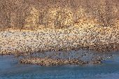 Flock of red-billed Queleas (Quelea quelea) drinking water, Etosha National Park, Namibia