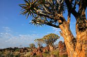 Desert landscape with quiver trees (Aloe dichotoma) and granite rocks, Namibia