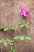 Pink Rose Against An Adobe Wall