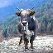 Yak In The Nepal Himalaya