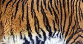 Tiger Stripes Closeup