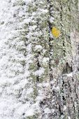 Snowy Tree Trunk Closeup