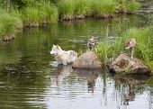 Wolf and Pups at Water's Edge