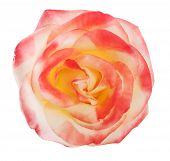Gently pink rose close-up