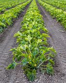 Organic squash crop.
