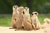 Group Of  Meerkats On The Green Background