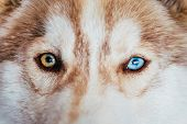 pic of puppy eyes  - Close Up On Multicolored Eyes Of Husky Dog Puppy - JPG