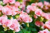 image of begonias  - Beautiful Pink begonia or fibrous flower in the garden - JPG