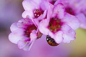 stock photo of ladybug  - Ladybug ladybird inside pink flowers Adalia septempunctata - JPG