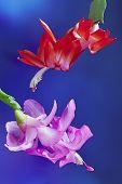 stock photo of christmas flower  - Two flower Christmas Cactus  - JPG