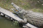 pic of crocodile  - Crocodile  - JPG
