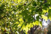 picture of tree leaves  - Plane tree leaves with sky background - JPG