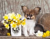 pic of epagneul  -  papillon puppy and spring flowers - JPG