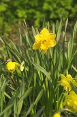 foto of daffodils  - Beautiful yellow daffodils  in the garden at spring time - JPG