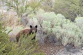 stock photo of bear-cub  - Bear cub surrounded by shrubbery looking into camera - JPG