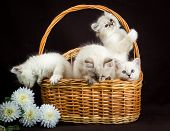 stock photo of masquerade  - four Neva masquerade kittens in basket on brown - JPG