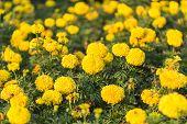 image of marigold  - Close up marigold flower in the garden - JPG
