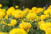 stock photo of marigold  - Close up marigold flower in the garden - JPG