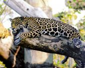picture of zoo animals  - leopard resting on a tree photographed at w. palm beach zoo