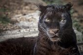 image of panther  - portrait of a beautiful and wild black panther - JPG