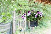 image of petunia  - Petunia flower in plastic pot to hang for decoration - JPG