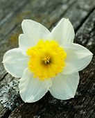 foto of fragile  - Fragile Spring Yellow Daffodil closeup on Natural Weathered Wooden background - JPG